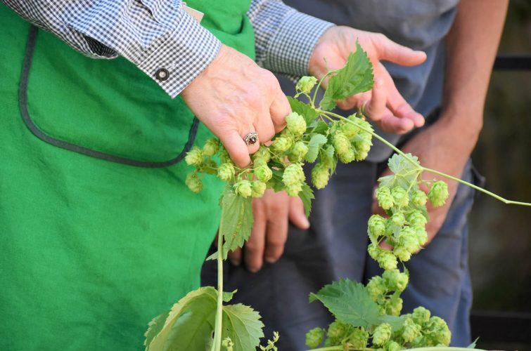 Hop harvest for dakota microbrewery beer pub craft beer argyroupoli elliniko region - 2