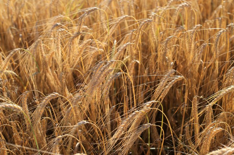 Barley before harvest for dakota beer pub brewery argyroupolh elliniko 13A regions - 4