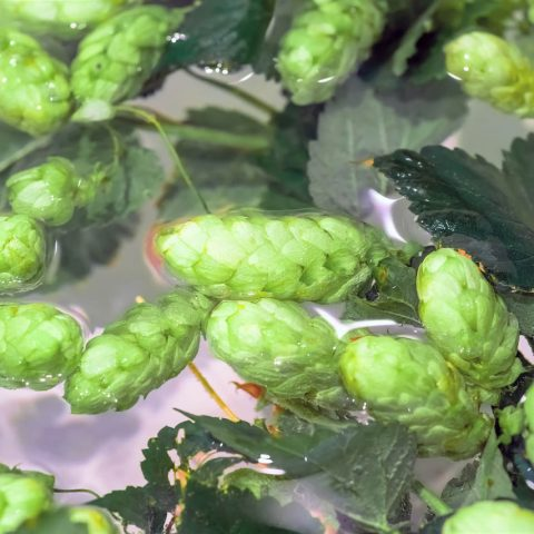 Hops boiling dakota brewery beer pub craft beer argyroupoli elliniko region - 3